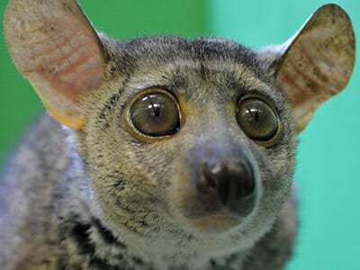 Animals At Camp Amazing Animals Anchor - Galagos Bush Baby - Cub Creek Science and Animal Camp