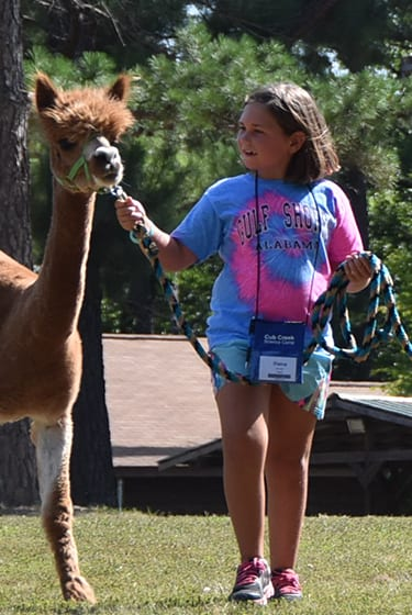 Animals At Camp - Animal Safari - Camper walking alpaca - Cub Creek Science and Animal Camp