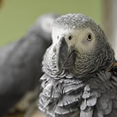 Birds - African Grey Parrot - Cub Creek Science and Animal Camp
