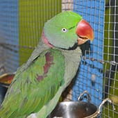 Birds - Alexandrian Ringneck Parakeet - Cub Creek Science and Animal Camp