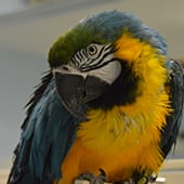 Birds - Blue and Gold Macaw - Cub Creek Science and Animal Camp