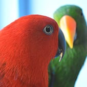 Birds - Eclectus Parrots - Cub Creek Science and Animal Camp