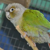 Birds - Green Cheek Conure - Cub Creek Science and Animal Camp