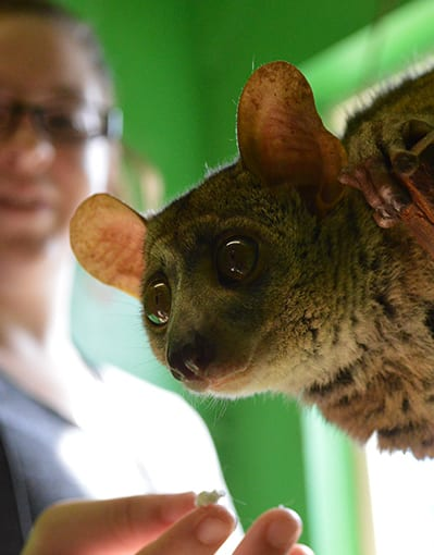 Internship Galagos Bush Baby - Cub Creek Science and Animal Camp