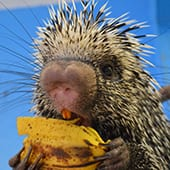 Mammal - Prehensile Tailed Porcupine - Cub Creek Science and Animal Camp
