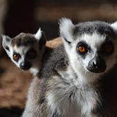 Mammal - Ringtail Lemurs - Cub Creek Science and Animal Camp