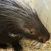 Mammals - African Crested Porcupine - Cub Creek Science and Animal Camp