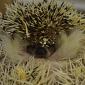 Mammals - African Pygmy Hedgehogs - Cub Creek Science and Animal Camp