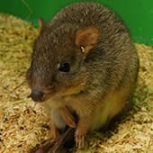Mammals - Bettong - Cub Creek Science and Animal Camp