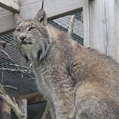 Mammals - Canadian Lynx - Cub Creek Science and Animal Camp