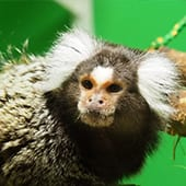 Mammals - Common Marmoset - Cub Creek Science and Animal Camp