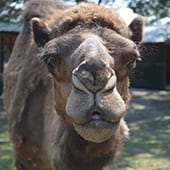 Mammals - Dromedary Camel - Cub Creek Science and Animal Camp