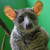 Mammals - Galago Bushbaby - Cub Creek Science and Animal Camp