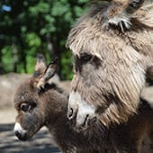 Mammals - Miniature Donkey - Cub Creek Science and Animal Camp