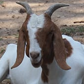Mammals - Nubian Goat - Cub Creek Science and Animal Camp