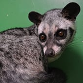 Mammals - Palm Civet - Cub Creek Science and Animal Camp