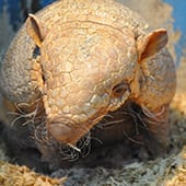 Mammals- (Six banded) Armadillo - Cub Creek Science and Animal Camp