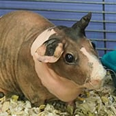 Mammals - Skinny Pig - Cub Creek Science and Animal Camp