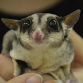 Mammals - Sugar Glider - Cub Creek Science and Animal Camp