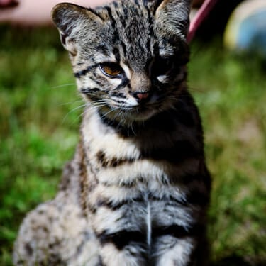 Meet Our Mammals - Azizah - geoffroy's cat - Cub Creek Science and Animal Camp