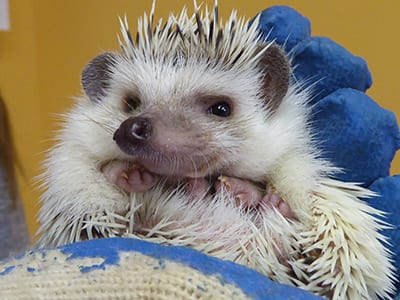OffSeason Animal Encounter - African Pygmy Hedgehog - Cub Creek Science and Animal Camp