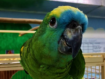 OffSeason Animal Encounter - Blue Fronted Amazon Parrot - Cub Creek Science and Animal Camp