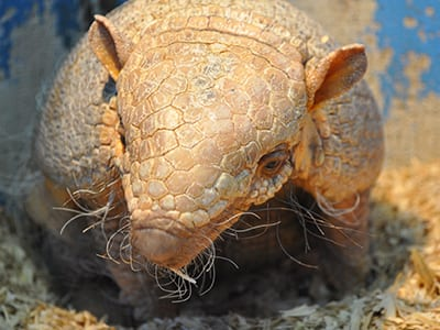 OffSeason Animal Encounter - Six Banded Armadillo - Cub Creek Science and Animal Camp