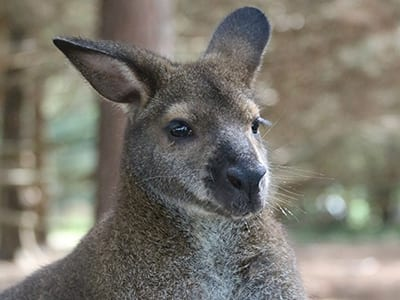 OffSeason Animal Encounter - Bennett Wallaby - Cub Creek Science and Animal Camp
