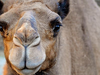 OffSeason Animal Encounter - Dromedary Camel - Cub Creek Science and Animal Camp