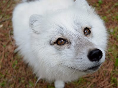 OffSeason Animal Encounter - Arctic Fox - Cub Creek Science and Animal Camp