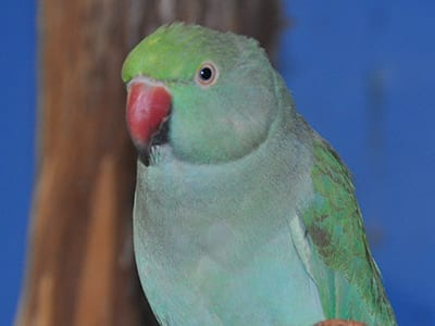OffSeason Animal Encounter - Indian Ringneck Parakeet - Cub Creek Science and Animal Camp