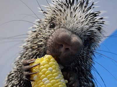 OffSeason Animal Encounter - Prehensile Tailed Porcupine - Cub Creek Science and Animal Camp