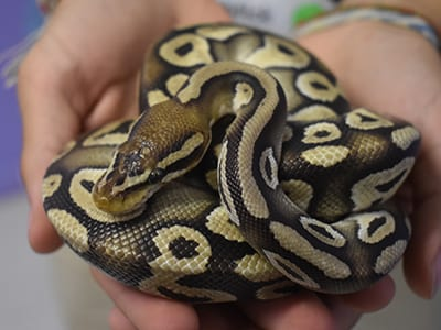 OffSeason Animal Encounter - Snakes - Ball Python Pastel Morph - Cub Creek Science and Animal Camp