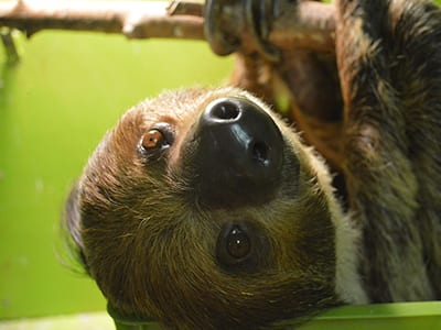 OffSeason Animal Encounter - Two Toed Sloth - Cub Creek Science and Animal Camp