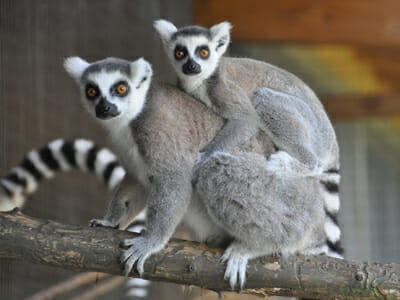 Animals Photo Gallery Anchor - Mother and baby lemur - Cub Creek Science and Animal Camp