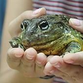 Reptiles - African Bullfrog - Cub Creek Science and Animal Camp