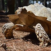 Reptiles - African Spurred Tortoise - Cub Creek Science and Animal Camp