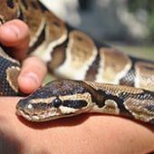 Reptiles - Ball Python - Cub Creek Science and Animal Camp