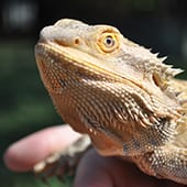 Reptiles - Bearded Dragon - Cub Creek Science and Animal Camp