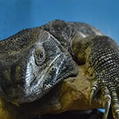 Reptiles - Black Throated Monitor - Cub Creek Science and Animal Camp