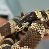 Reptiles - California Kingsnake - Cub Creek Science and Animal Camp