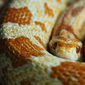Reptiles - Corn Snakes - Cub Creek Science and Animal Camp