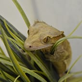 Reptiles - Crested Gecko - Cub Creek Science and Animal Camp