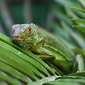 Reptiles - Green Iguana - Cub Creek Science and Animal Camp