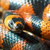 Reptiles - Honduran Milksnake - Cub Creek Science and Animal Camp