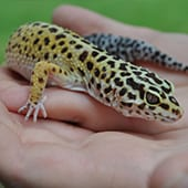 Reptiles - Leopard Gecko - Cub Creek Science and Animal Camp