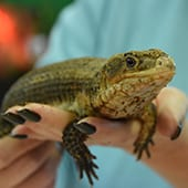 Reptiles - Plated Lizard - Cub Creek Science and Animal Camp