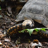 Reptiles - Yellow Footed Tortoise - Cub Creek Science and Animal Camp
