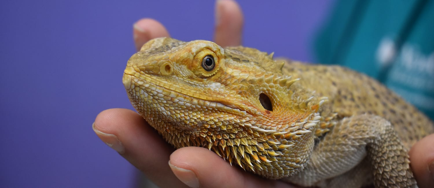 Volunteer Opportunities - Bearded dragon being held and socialized - Cub Creek Science and Animal Camp