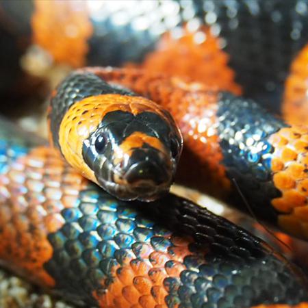 Honduran Milk Snake - Cub Creek Science and Animal Camp